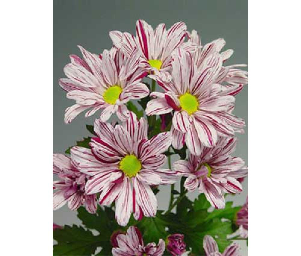 Хризантема кустовая Artist Pink