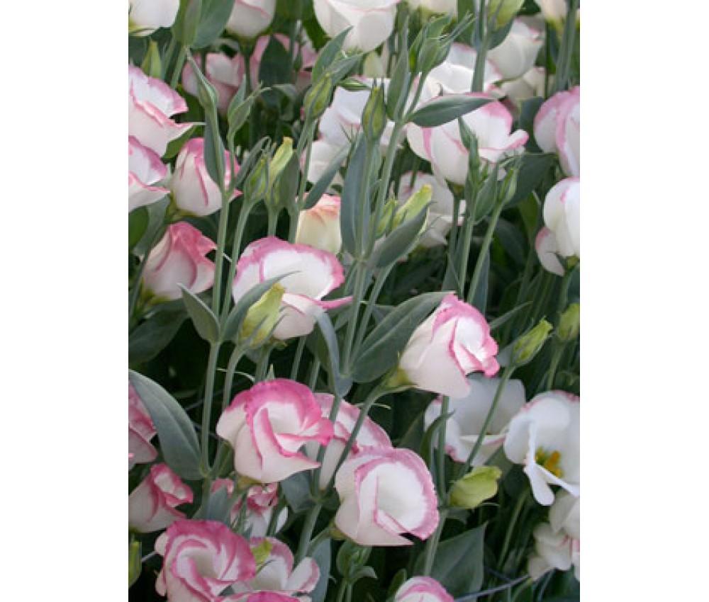 Эустома белая с розовым