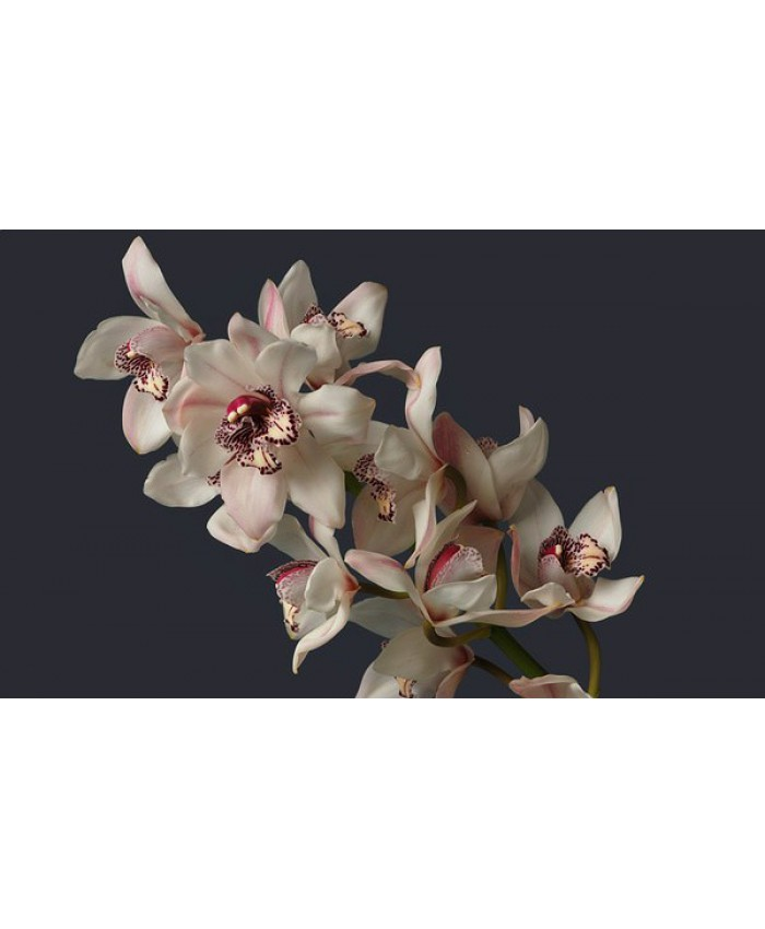 Орхидея (цимбидиум)