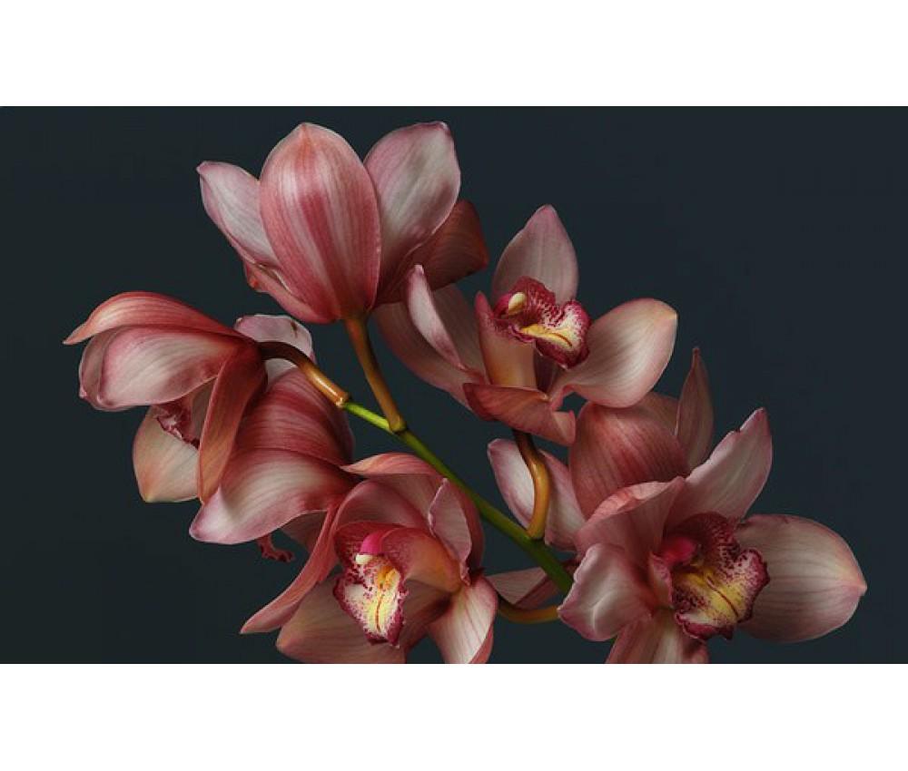 Орхидея (цимбидиум розовый)