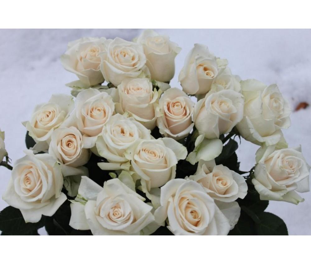 Роза вендела