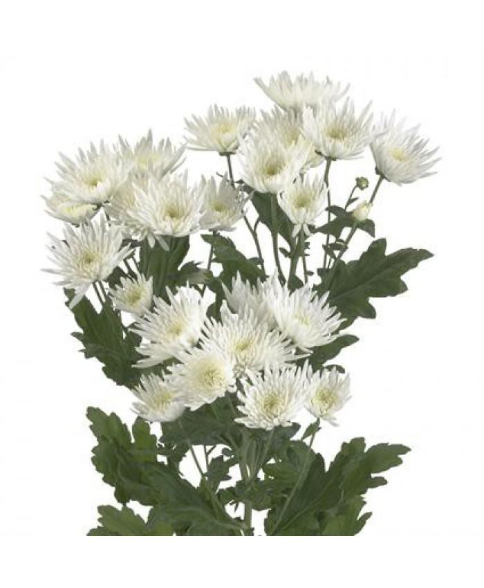 Хризантема кустовая Анастасия