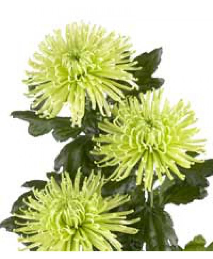 Анастасия зеленая