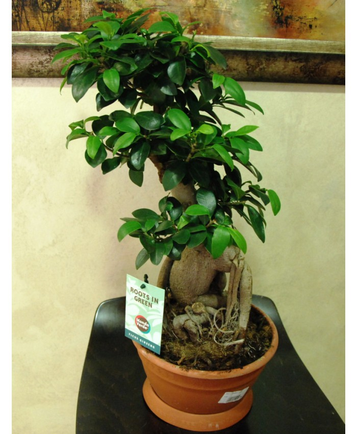 Фикус гинсенг – чудо-дерево в стиле бонсай